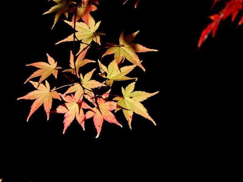 枫叶12.jpg