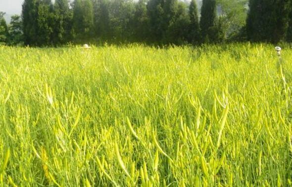 黄花菜种植时间
