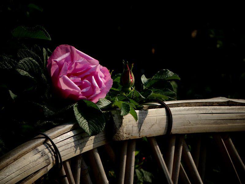 玫瑰花10.jpg