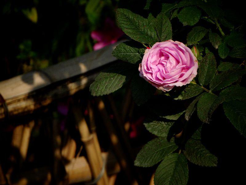 玫瑰花12.jpg