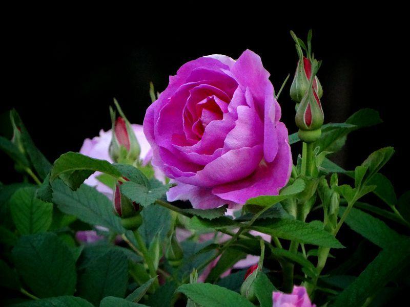 玫瑰花24.jpg