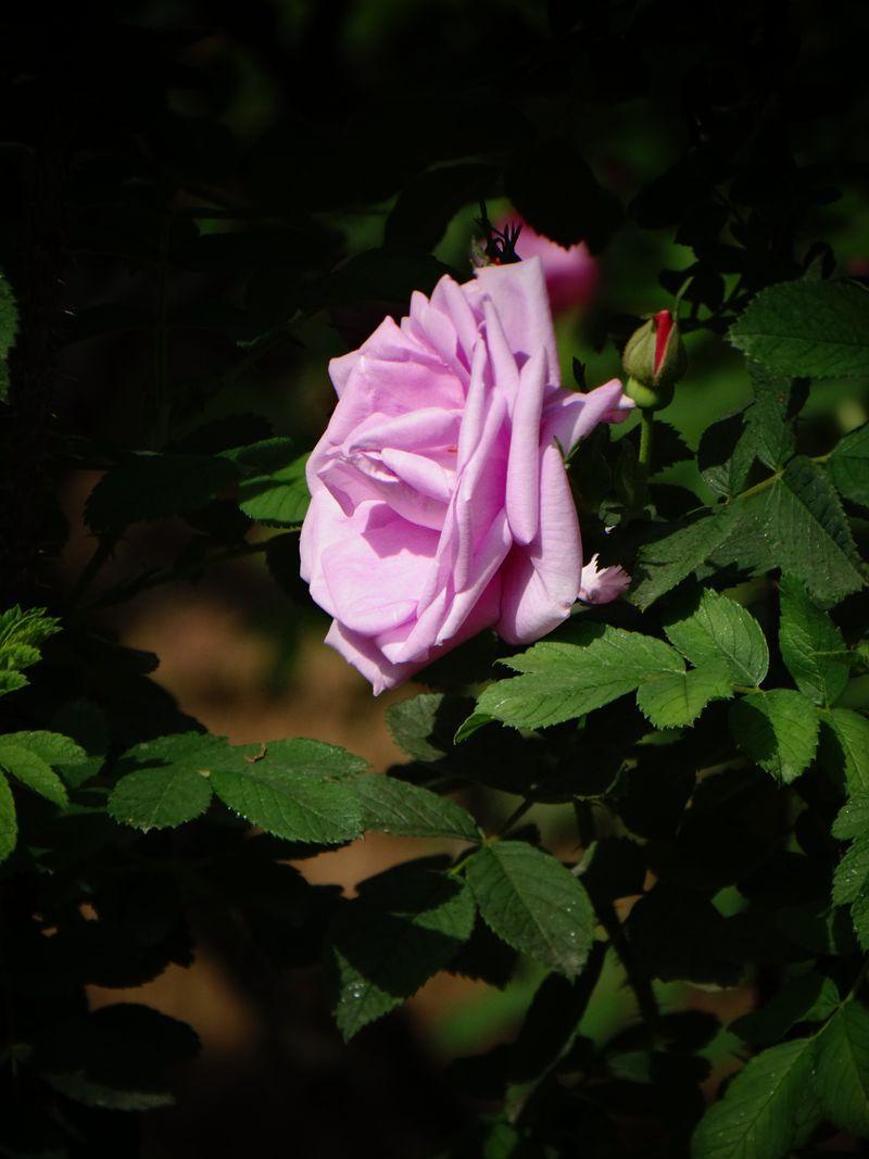 玫瑰花25.jpg