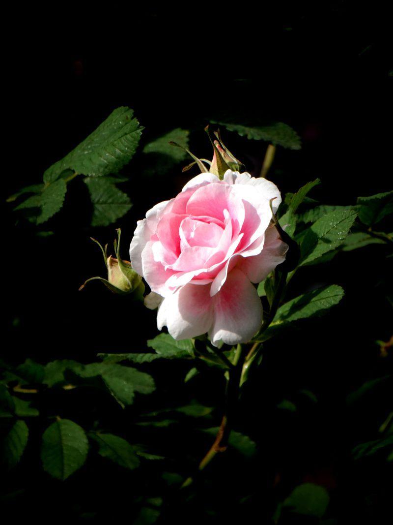玫瑰花26.jpg