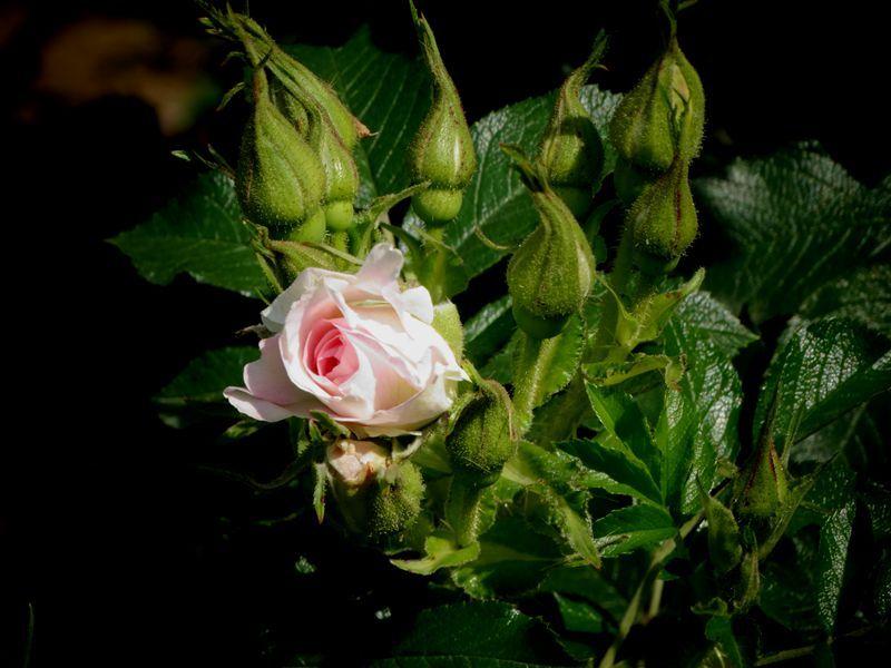 玫瑰花34.jpg