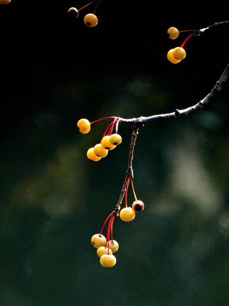 楝树果9.jpg