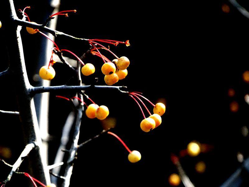 楝树果8.jpg
