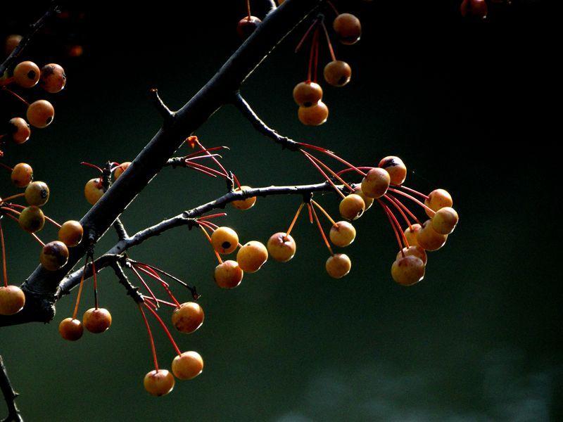 楝树果1.jpg